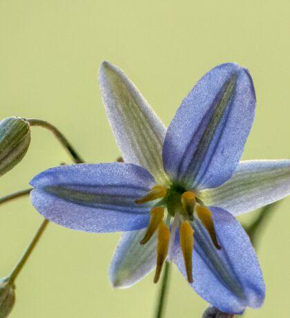 Blue Dianella Sticker