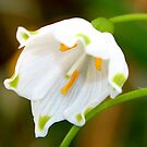 The Snowdrop/Snowbell by AnnDixon