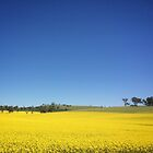 Canola Fields by Carol Knudsen