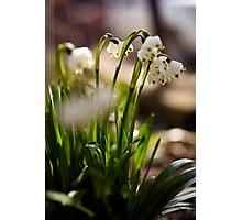 Spring snowdrop flowers Photographic Print