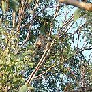 Wild Koala (dropbearus Australianus) by Mark Batten-O'Donohoe