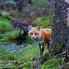 Red Fox - Algonquin Park, Canada by Jim Cumming
