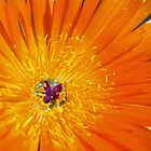 Orange Flower by SusanAdey