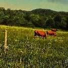 """""""Cattle Grazing """"... prints and products by © Bob Hall"""
