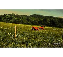 """Cattle Grazing ""... prints and products Photographic Print"