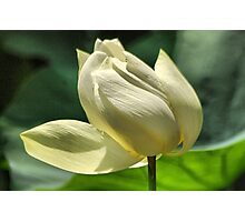Hope equal Lotus Photographic Print