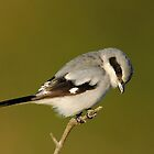 Loggerhead Shrike by photosbyjoe