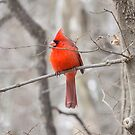 Cardinal At George Wyth Park, Waterloo, Iowa by Deb Fedeler