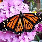 Imago Emerged! - Monarch Butterfly - NZ by AndreaEL