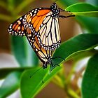 Makin' Monarchs.... by Tracie Louise