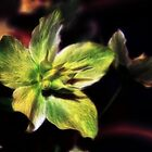 Christmas Rose by Tracy Deptuck
