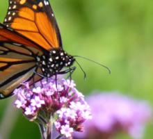 Autumn Beauty! - Monarch Butterfly - Otago - NZ Sticker