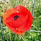 Poppy in demolition area. by patjila