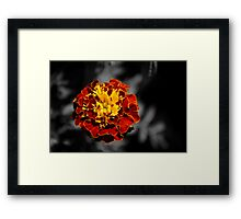 Twin Coloured Marigold Framed Print