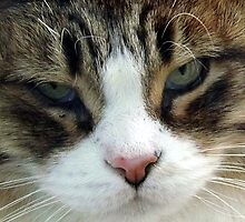 Cat Face by Timothy  Ruf