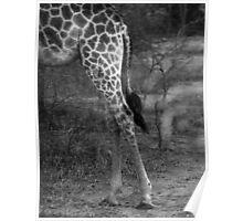 Giraffe - Africa Poster