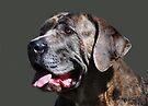 Mastiff Dog Portrait by Laurie Minor