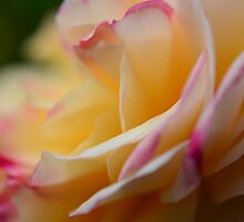 A Rose for You by Sabine Edrissi