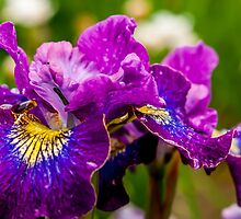 An Iris for You by Sabine Edrissi
