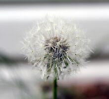 The Lonely Dandelion  by sarahjonasson