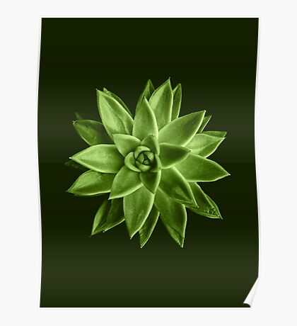 Greenery succulent Echeveria agavoides flower Poster