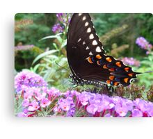 Spice Bush Swallowtail Butterfly Canvas Print