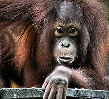Young male Orangutan, Borneo by Carole-Anne
