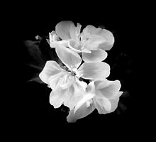 Geranium in black and white by by-jwp