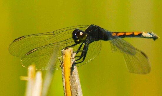 Buddy the Dragonfly by FedericoArts