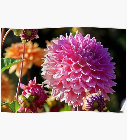 Canada. BC. Butchart gardens. Flowers of Autumn. Poster