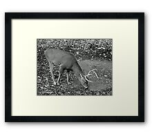 White-Tailed Deer - Buck - Odocoileus virginianus Framed Print
