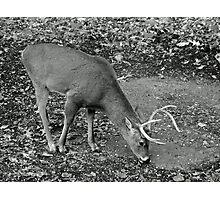 White-Tailed Deer - Buck - Odocoileus virginianus Photographic Print