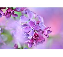 lilac on colorful background Photographic Print