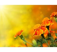 tagetes flowers Photographic Print