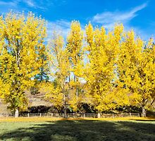 The Full Fall Color of the Cottonwoods! by Jim Stiles