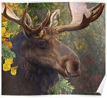 bull moose portrait amid aspen and spruce Poster