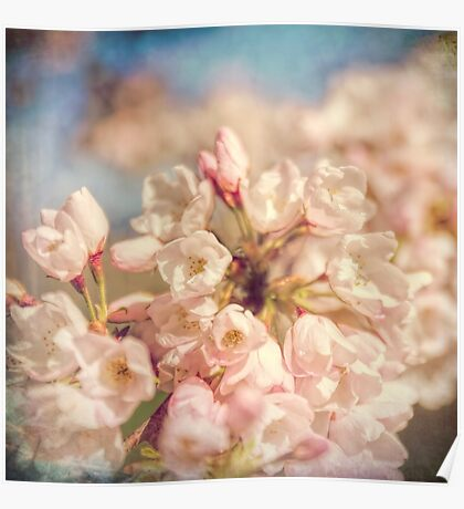 Pale Pink Cherry Blossoms Poster