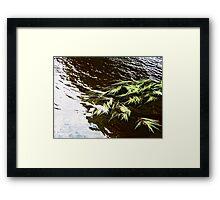 Water weeds in the River Erne, Enniskillen, Northern Ireland Framed Print
