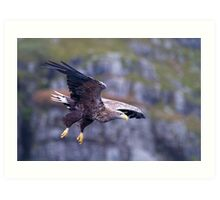 White tailed eagle on Mull Scotland Art Print