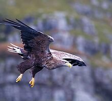 White tailed eagle on Mull Scotland by MrBennettKent