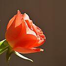 Orange Rose by shalisa