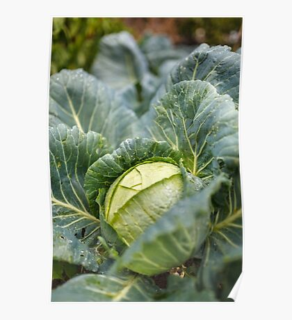 White cabbage in the garden, after rain Poster