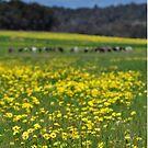 Field of yellow flowers by Coralie Plozza