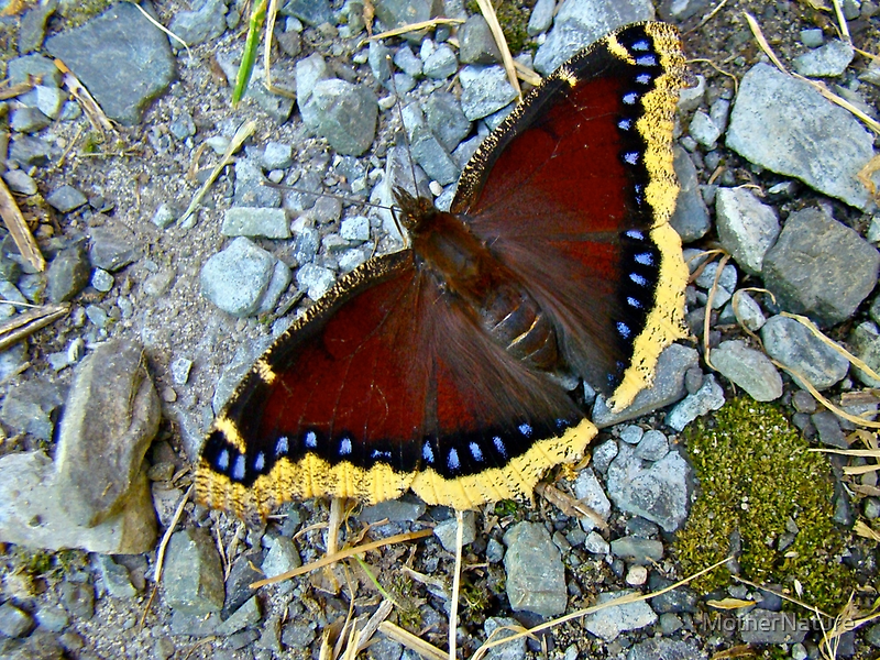 Mourning Cloak Butterfly - Nymphalis antiopa by MotherNature