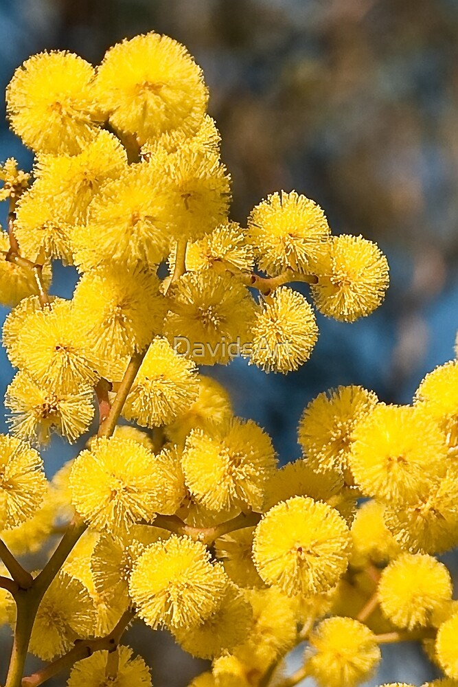 0688 Wattle flower by DavidsArt