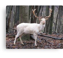 White Fallow Deer (Leucistic) Canvas Print