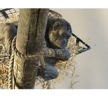 Cozy Chimp Photographic Print