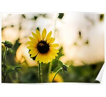 Sunflowers and blurred background Poster