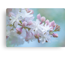 Soft and Lovely Lilac Blossoms Canvas Print