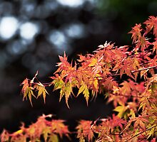 Maple Leaves by Trudi Skinn